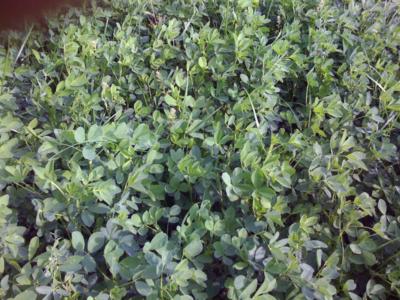 Our Alfalfa