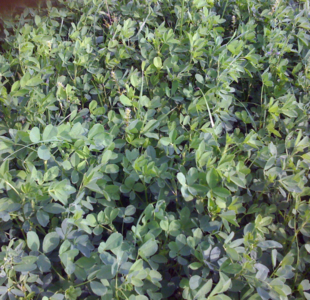 Alpine Farms - Our Alfalfa