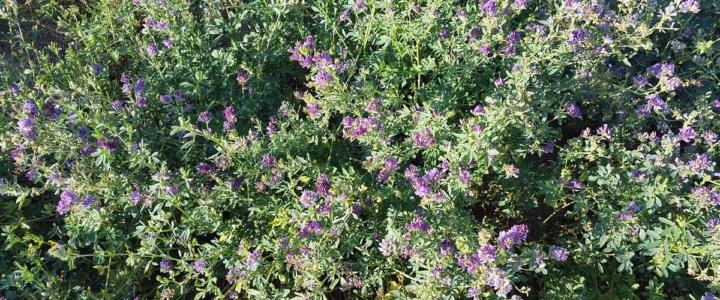 Flowering Alfalfa